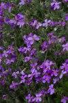Violet-7068