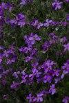 Violet Minus Half-7069