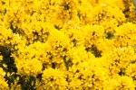 Yellow Plus Half-7250